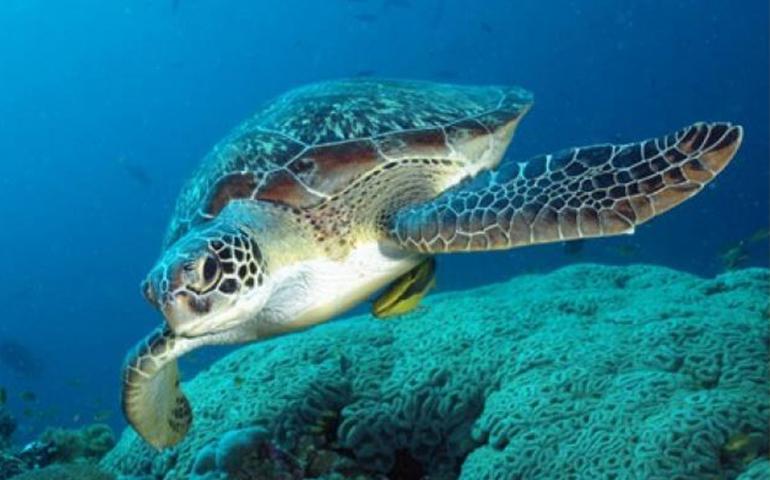 reducen-70-mortalidad-de-tortuga-caguama