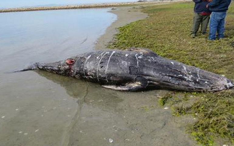 hallan-muertas-a-14-ballenas-y-16-tortugas