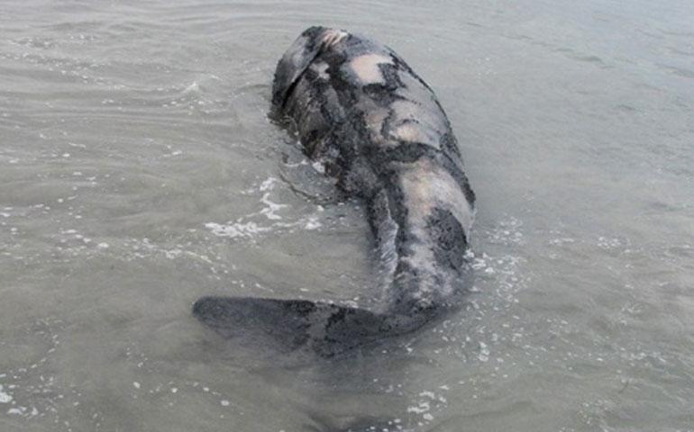 muerte-de-14-ballenas-es-normal