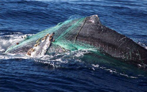 ballena-jorobada-queda-atrapada-en-redes-en-los-cabos4