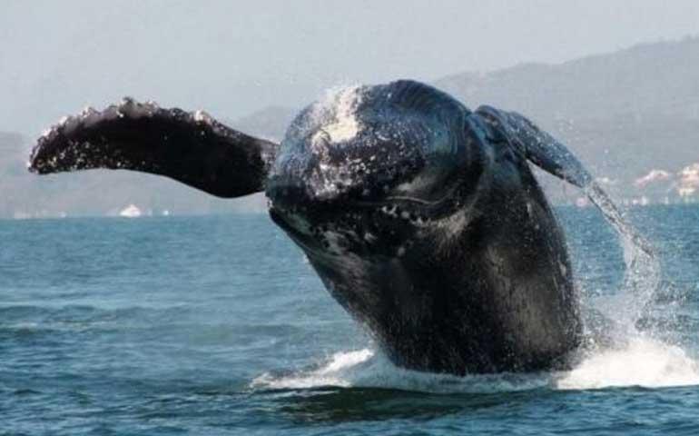 ballenas-jorobadas-se-reproducen-en-badeba