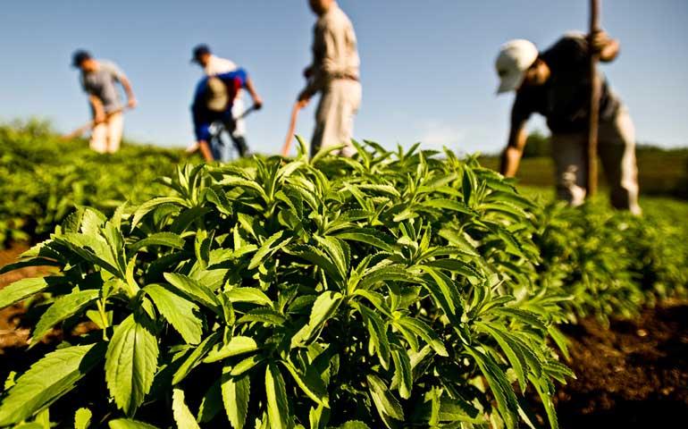 caneros-piden-revision-sanitaria-de-la-stevia