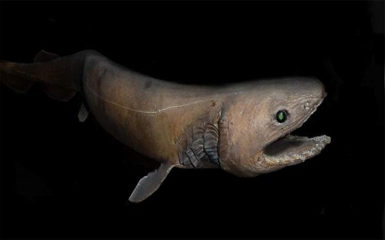 capturan-a-un-extrano-tiburon-conocido-como-el-fosil-viviente