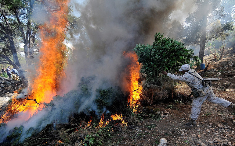 incineran-31-plantios-de-mariguana-en-jalisco