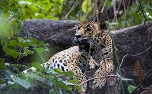 la-poblacion-de-jaguares-aumenta