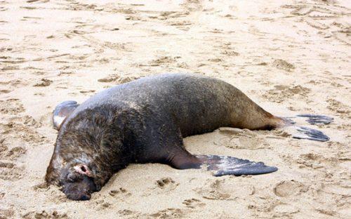 en-baja-california-hallan-muertas-a-550-aves-y-cuatro-lobos-marinos