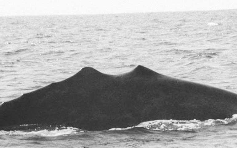 observan-a-peculiar-ballena-en-badeba