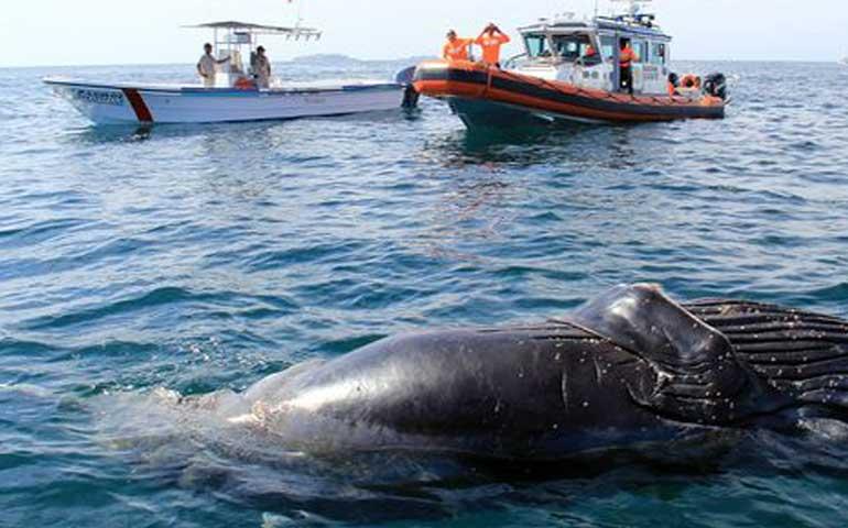 piden-controlar-trafico-nautico-para-evitar-los-danos-a-ballenas