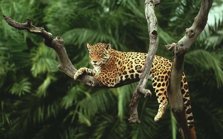 por-numero-de-jaguares-se-compara-al-estado-con-brasil