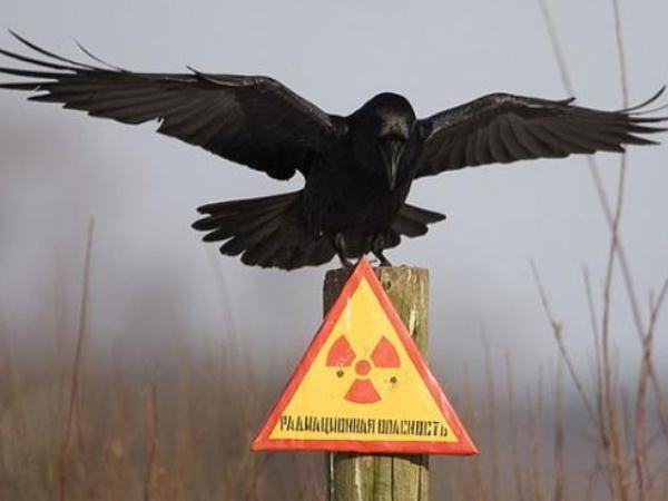 aves-se-adaptaron-a-la-radioactividad