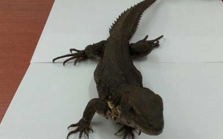 aseguran-once-iguanas-que-serian-enviadas-por-paqueteria
