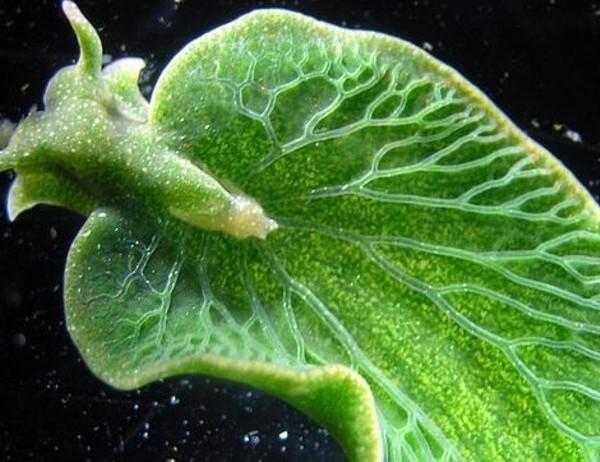 increible-unico-animal-que-puede-realizar-la-fotosintesis
