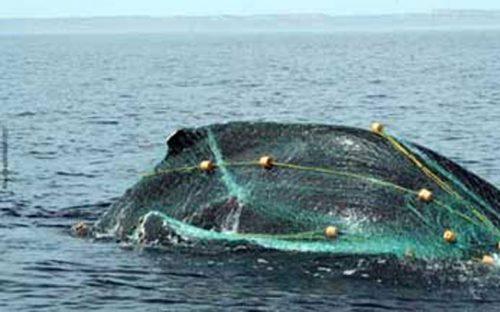 ballena-queda-atrapada-en-redes-de-pescadores-en-mazatlan