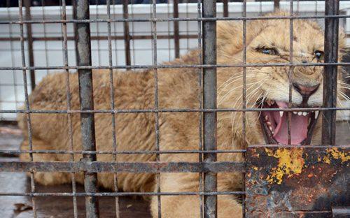 cachorro-de-leon-escapa-se-mete-a-casa-y-causa-movilizacion