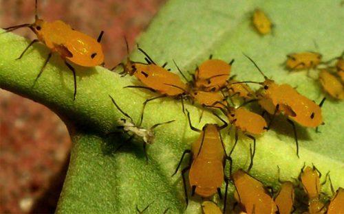 plaga de origen africano llamada pulgón amarillo