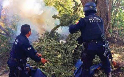 destruye-secadero-de-marihuana-en-san-pedro-lagunillas