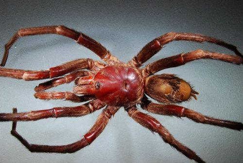 el-beatle-de-los-aracnidos-tarantula-lleva-el-nombre-de-john-lennon