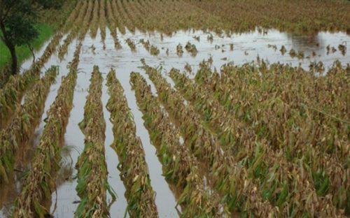 lluvias-en-nayarit-danan-26200-hectareas-de-cultivos