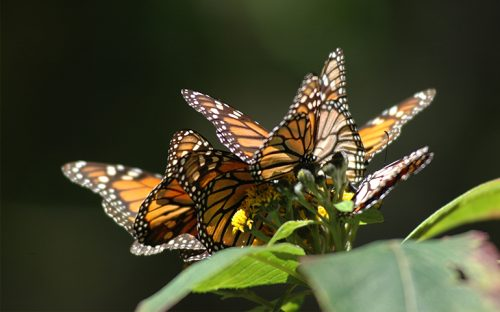 mueren-970-millones-de-mariposas-monarca