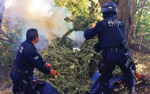 policia-nayarit-destruye-campamento-y-secadero-de-mariguana