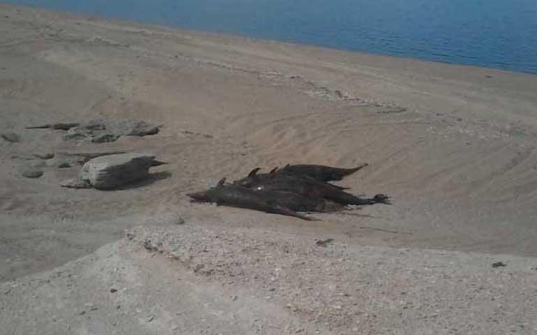 hallan-55-delfines-y-cuatro-lobos-marinos-muertos-en-playa-de-bc