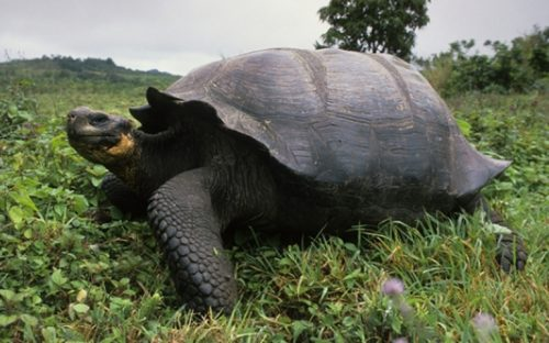 las-tortugas-gigantes-de-los-galapagos-podrian-salvarse-de-la-extincion