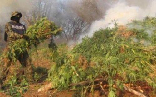 localizan-y-destruyen-4-plantios-de-mariguana-en-compostela