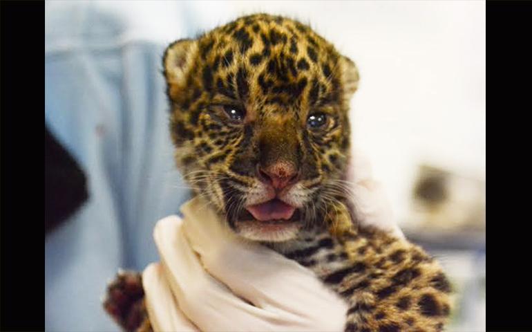nace-jaguar-hembra-en-el-zoologico-de-nuevo-laredo