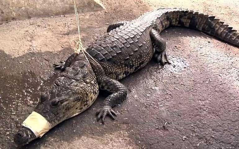 capturan-en-calles-de-campeche-a-cocodrilo-de-casi-dos-metros-de-largo