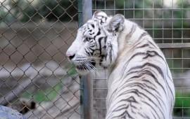 con-leones-y-un-tigre-blanco-alcalde-es-acusado-de-tener-zoologico-privado