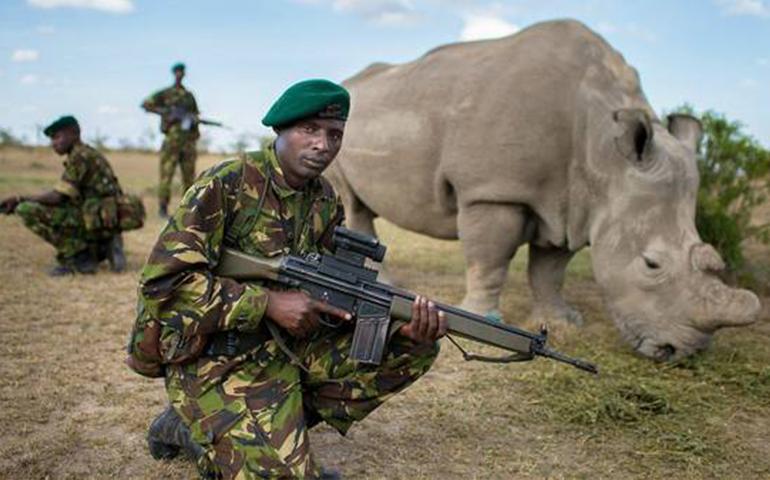 el-ultimo-rinoceronte-blanco-del-mundo-vive-custodiado-las-24-horas-del-dia