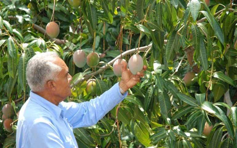 nayarit-perdio-el-90-de-sus-cosechas-de-mango-debido-a-las-lluvias