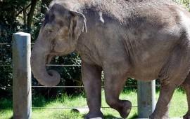 zoologicos-de-eu-afrontan-escasez-de-elefantes