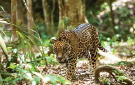 conservacionistas-piden-registro-de-jaguares-en-cautiverio