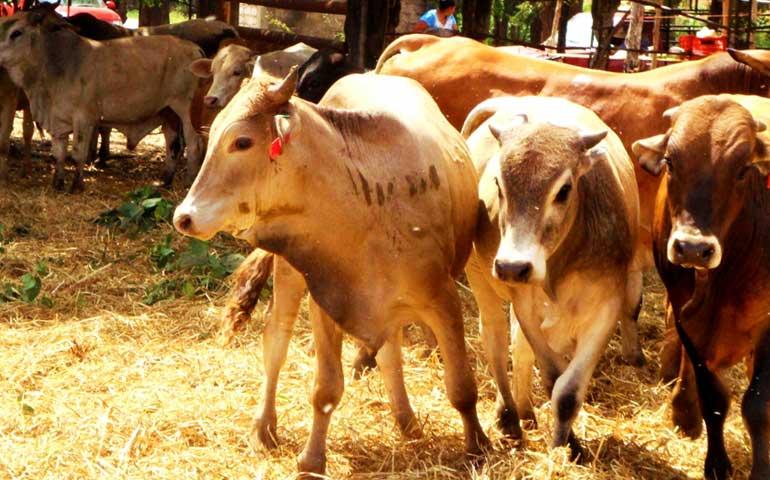 continua-la-despoblacion-de-ganado-en-nayarit
