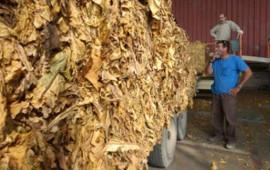 en-nayarit-al-menos-3-mil-familias-viven-del-tabaco