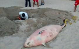 hallan-muerto-un-cachalote-enano-en-playas-de-puerto-vallarta