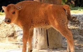 nace-cria-de-bisonte-en-el-zoologico-de-chapultepec