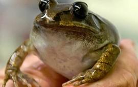 cientificos-clonan-con-exito-un-embrion-vivo-de-una-especie-extinta