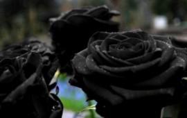 rosas-negras-totalmente-naturales