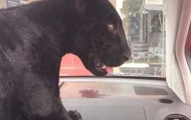 venden-leones-panteras-y-tigres-mediante-facebook
