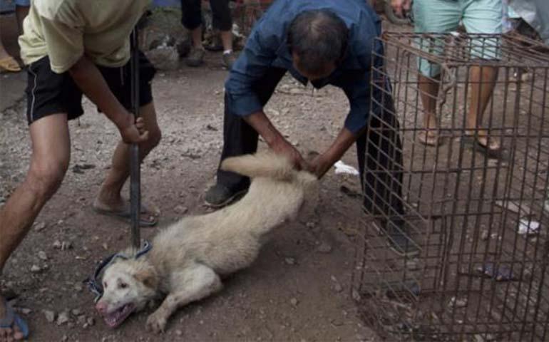 Más de 100 perros son salvados ser cocinados en Festival ...