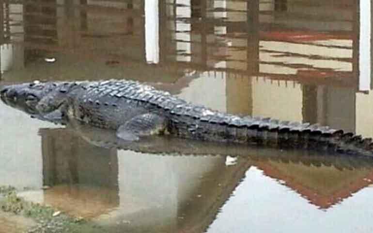 cocodrilo-ataca-a-turista-estadunidense-ebrio