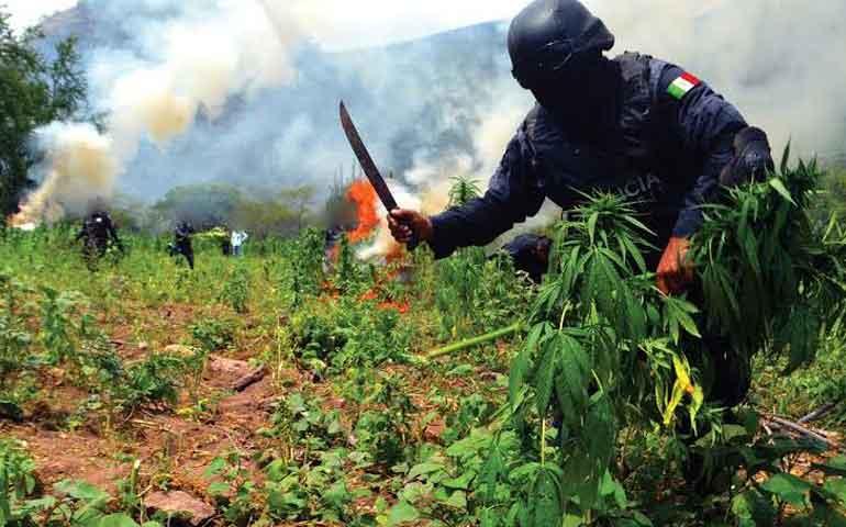 destruyen-inmenso-plantio-de-mariguana-en-ixtlan-del-rio