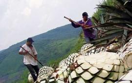 en-nayarit-se-produce-agave-de-buena-calidad-raul-garcia