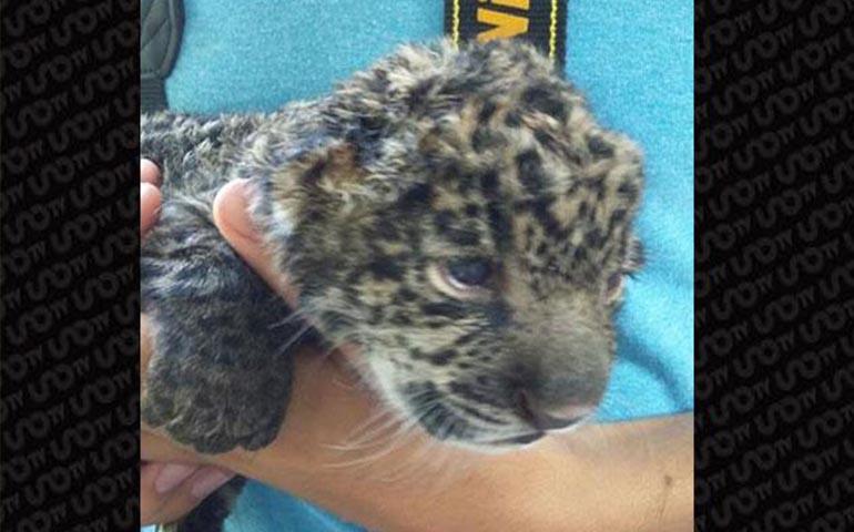 nace-en-san-blas-primera-cria-de-jaguares-rescatados