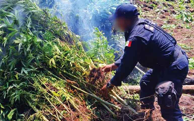 destruyen-150-toneladas-de-marihuana-en-jala