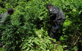 destruyen-en-ahuacatlan-6-mil-plantas-de-marihuana