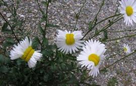 flores-deformes-crecen-cerca-de-planta-nuclear
