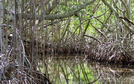 nayarit-conserva-60-mil-hectareas-de-manglar